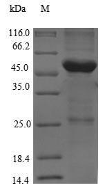 SDS-PAGE- Recombinant protein Rat Tg