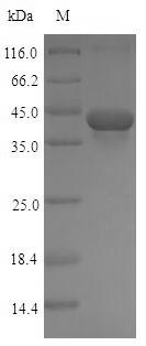 SDS-PAGE- Recombinant protein Rat Tgfb1