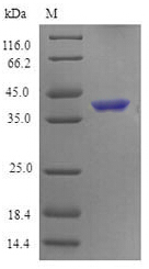 SDS-PAGE- Recombinant protein Mouse Tnfrsf4