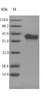 SDS-PAGE- Recombinant protein Mouse Tnfsf11