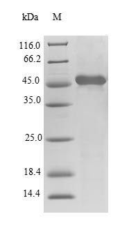SDS-PAGE- Recombinant protein Human TTPA