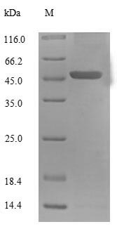SDS-PAGE- Recombinant protein Human UCP1
