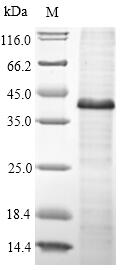 SDS-PAGE- Recombinant protein Human WNT5A
