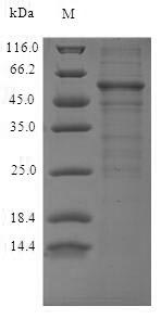 SDS-PAGE - Recombinant Human Protein Wnt-5a