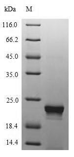 SDS-PAGE - Recombinant Enterobacteria phage M13 Tail virion protein G9P