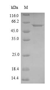 SDS-PAGE- Recombinant protein Mycoplasma pepA