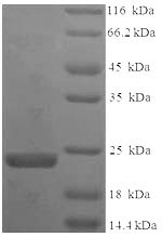 SDS-PAGE- Recombinant protein Bauhinia BuXI