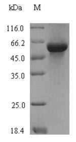 SDS-PAGE - Recombinant Triticum aestivum Serpin-Z1B