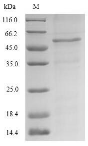 SDS-PAGE- Recombinant protein Saccharomyces GCY1