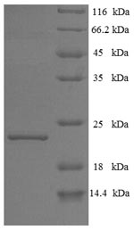 SDS-PAGE- Recombinant protein Bovine IFNT1