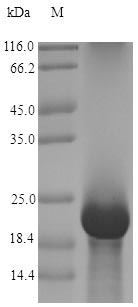 SDS-PAGE- Recombinant protein Antifungal afp