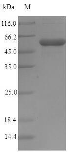 SDS-PAGE- Recombinant protein Shigella IpaD