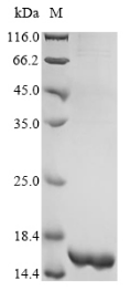 SDS-PAGE - Recombinant Paenibacillus macerans Cyclomaltodextrin glucanotransferase