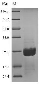 SDS-PAGE - Recombinant Aspergillus niger Aspergillopepsin-2