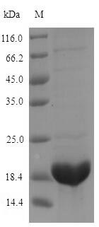 SDS-PAGE- Recombinant protein Raphanus AFP2
