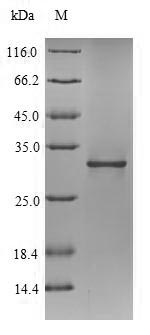 SDS-PAGE- Recombinant protein Peptidoglycan-associated pal