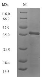 SDS-PAGE - Recombinant Blattella germanica Allergen Bla g 4