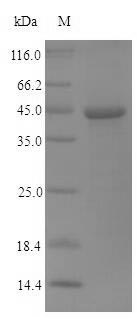 SDS-PAGE- Recombinant protein Human NS1