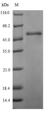 SDS-PAGE- Recombinant protein Staphylococcus hlgB
