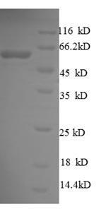 SDS-PAGE- Recombinant protein Escherichia surA