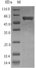 SDS-PAGE- Recombinant protein Enterobacteria UVSX