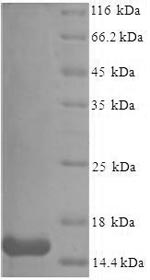 SDS-PAGE- Recombinant protein Mouse Saa3