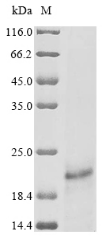 SDS-PAGE- Recombinant protein Human E7