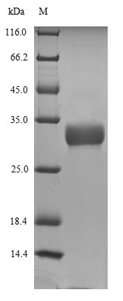 SDS-PAGE - Recombinant Dog Minor allergen Can f 2