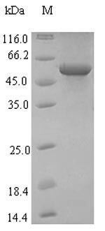 SDS-PAGE- Recombinant protein Influenza HA
