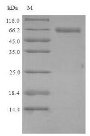 SDS-PAGE- Recombinant protein Mouse Plbd2