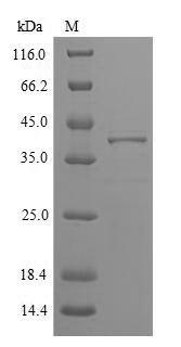 SDS-PAGE - Recombinant Phleum pratense Pollen allergen Phl p 5b
