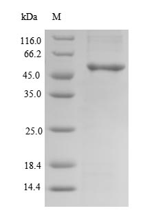 SDS-PAGE- Recombinant protein Human CLVS2