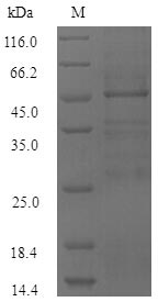 SDS-PAGE- Recombinant protein Burkholderia bopE