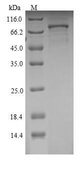 SDS-PAGE- Recombinant protein Rat Sema3a