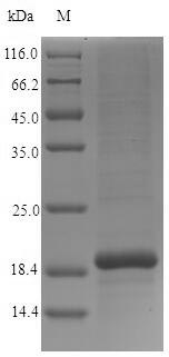 SDS-PAGE- Recombinant protein Human CST9