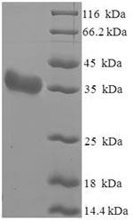 SDS-PAGE - Recombinant Arachis hypogaea Arachin Ahy-3