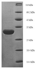 SDS-PAGE- Recombinant protein Candida ATG8