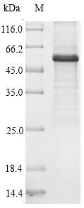 SDS-PAGE- Recombinant protein Human ATG14