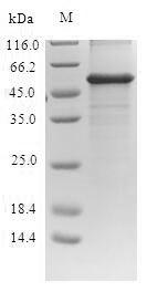 SDS-PAGE- Recombinant protein Escherichia mcr1