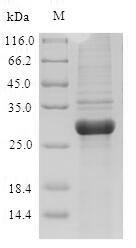 SDS-PAGE - Recombinant Artemisia vulgaris Major pollen allergen Art v 1