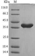 SDS-PAGE- Recombinant protein Mouse Nlrp3