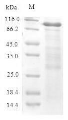 SDS-PAGE- Recombinant protein Mouse Cbs