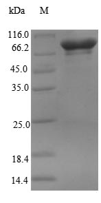 SDS-PAGE- Recombinant protein Human RBM14
