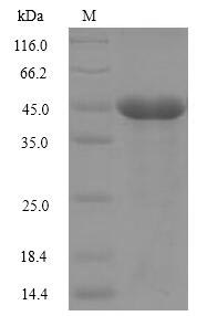 SDS-PAGE - Recombinant Naja kaouthia Cobra venom factor