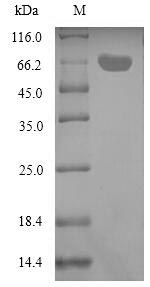 SDS-PAGE- Recombinant protein Aeromonas aexT