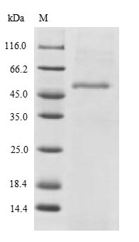 SDS-PAGE- Recombinant protein Human SH3GLB2