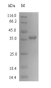 SDS-PAGE- Recombinant protein Mouse Cmpk1
