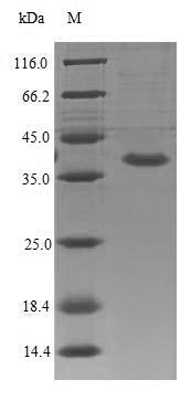 SDS-PAGE- Recombinant protein Mouse Il1rl2