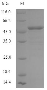 SDS-PAGE- Recombinant protein Human IFIH1