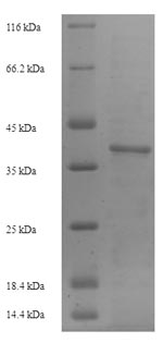 SDS-PAGE- Recombinant protein Mouse Icam4